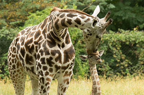 giraffe area Madagascar!