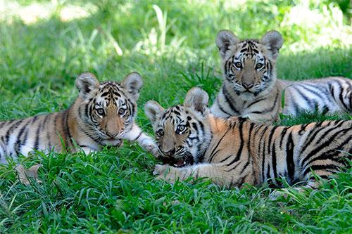 tigri del bronx zoo
